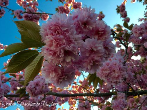 Cherry Blossoms April 2016